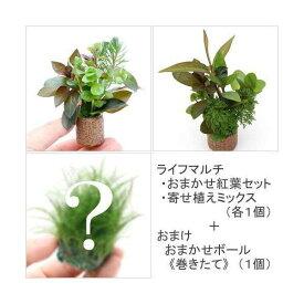 (水草)ライフマルチ(茶) おまかせ紅葉セット&寄せ植えミックス(無農薬)(各1個)+ おまけ付き