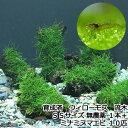 (水草)育成済 ウィローモス 流木 SSサイズ(約10cm)(無農薬)(1本)+ミナミヌマエビ(10匹) 北海道・九州…