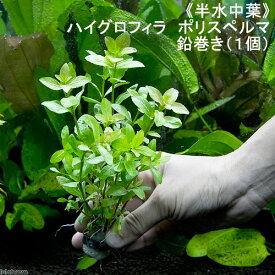 (水草)半水中葉 ハイグロフィラ ポリスペルマ 鉛巻き(無農薬)(1個)