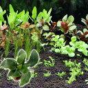 (水草)おまかせ水上葉 レイアウトセット 30cm水槽用 6種 +ライフマルチ アヌビアスナナ 熱帯魚 北海道航空…