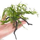(水草)ミクロソリウム ウェンディロフ 枝状流木 Sサイズ(約15〜20cm)(1本)
