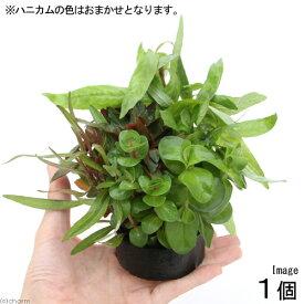 (水草)ハニカムシェルター おまかせ寄せ植えミックス(水上葉)(無農薬)(1個) 北海道航空便要保温