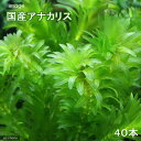 (水草)メダカ・金魚藻 国産 無農薬アナカリス(40本)