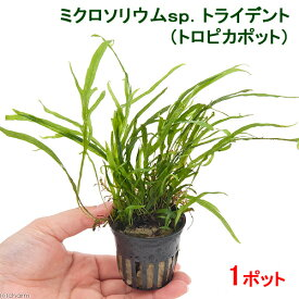 (水草)ミクロソリウムsp.トライデント(トロピカポット)(1ポット)