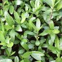 (水草)ハイグロフィラsp.グァンシー産(水上葉)(無農薬)(20本)
