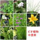 (ビオトープ/水辺植物)おまかせ水辺植物 中景草3種セット