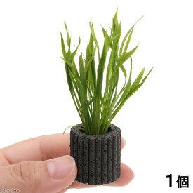 (水草)マルチリングブラック(黒) エキノドルス テネルス(水上葉)(無農薬)(1個)