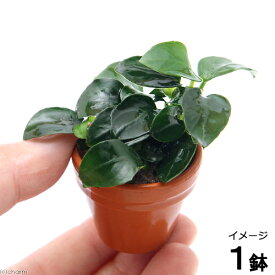 (水草)プチ素焼き鉢 アヌビアスナナ プチ(1鉢)