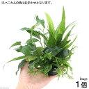 (水草)ハニカムシェルター 寄せ植えミックス Ver.ミクロ&アヌビアス(1個)