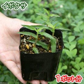 (ビオトープ)水辺植物 イボクサ(1ポット) 抽水植物