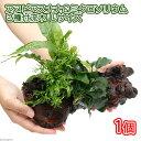 (水草)アヌビアスナナ&ミクロソリウム2種 流木付 Lサイズ(1本)(約25cm)