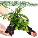 (水草)アヌビアスナナ ゴールデン&ミクロソリウム2種 流木付 Lサイズ(1本)(約25cm)