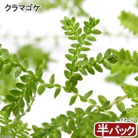 (観葉植物)苔 クラマゴケ(半パック分)