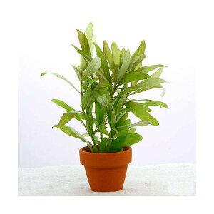 (水草)ハイグロフィラ ポリスペルマ ミニ素焼き鉢(水中葉)(無農薬)(3鉢)