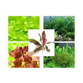 (水草)水草セット(45〜60cm水槽用)(水中葉)エキノあり 10種(無農薬)