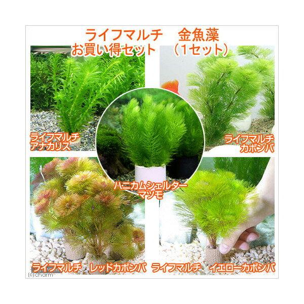 (水草)ライフマルチ(茶) メダカ・金魚藻 3100円 お買い得セット(1セット) 北海道航空便要保温