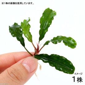 (水草)ブセファランドラsp.グリーンウェービー(インボイス)(水上葉)(1株)