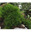 (水草)育成済 ウォーターフェザー付流木 Mサイズ(約20cm)(無農薬)(1個)