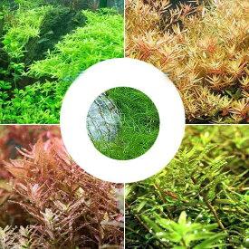 (水草)ロタラミックス4種 20本+ヘアーグラスショート(1束)(水上葉)(無農薬)