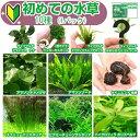 (水草 熱帯魚)初めての水草 10種(1パック)+水草その前に 1g(2L用)説明書付 本州・四国限定