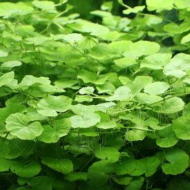 (水草)アマゾンチドメグサ(水中葉)(無農薬)(5本)
