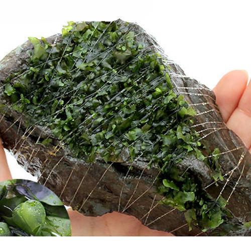 (水草)巻きたて モスファン付 風山石 Mサイズ(12〜15cm)(無農薬)(3個) 北海道航空便要保温