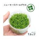 (水草)組織培養 ニューラージパールグラス(無農薬)(1カップ) 北海道航空便要保温