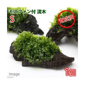 (水草)育成済モスファン付流木Sサイズ(約15cm)(無農薬)(1本)