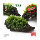 (水草)育成済 モスファン付 流木 Sサイズ(約15cm)(無農薬)(1本)