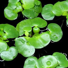 (水草)ミニホテイ草(無農薬)(1株) 金魚 メダカ