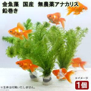 (水草)メダカ・金魚藻 国産 無農薬アナカリス 鉛巻き(5〜7本)(1個)