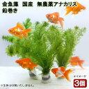 (水草)メダカ・金魚藻 国産 無農薬アナカリス 鉛巻き(5〜7本)(3個) 北海道航空便要保温