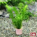 (水草)メダカ・金魚藻 国産 ライフマルチ(茶) 無農薬アナカリス(5個)