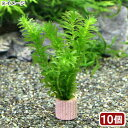 (水草)メダカ・金魚藻 国産 ライフマルチ(茶) 無農薬アナカリス(10個)