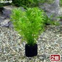 (水草)メダカ・金魚藻 国産 マルチリングブラック(黒) 無農薬アナカリス(2個)