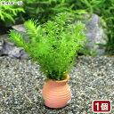 (水草)メダカ・金魚藻 国産 タコツボミニ 無農薬アナカリス(1個)