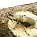 (昆虫)オウゴンオニクワガタ 西ジャワ ハリムン産 成虫(WD)70〜74mm(1ペア) 北海道航空便要保温