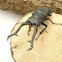 (昆虫)ギラファノコギリクワガタ フローレス産 成虫 95〜99mm(1ペア) 北海道・九州航空便要保温 沖縄別途送料