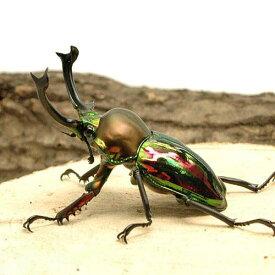 (昆虫)ニジイロクワガタ クィーンズランド産 成虫 50〜54mm(1ペア) 沖縄・離島不可 タイム便・航空便不可