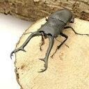 (昆虫)ギラファノコギリクワガタ フローレス産 幼虫(初〜2令)(1匹) 北海道航空便要保温