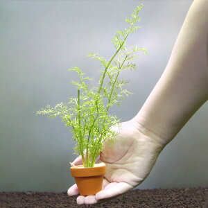 (水草)おまかせスプライト ミニ素焼き鉢(水上葉)(無農薬)(1鉢)