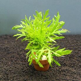 (水草)ウォーターウィステリア ミニ素焼き鉢(無農薬)(3鉢)