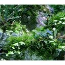 (水草)巻きたて 草たちの水景 風山石 Ver.ブセファランドラ(無農薬)(1個)