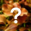 (水草 熱帯魚)おまかせルドウィジア(水中葉) 2種×3本セット(無農薬)(計6本)