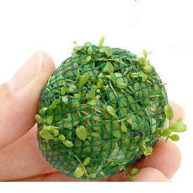 (水草)巻きたて グロッソスティグマボール(水上葉)(無農薬)(3個)