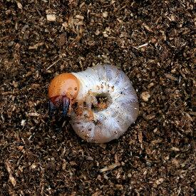 (昆虫)国産オオクワガタ 産地累代数不明 幼虫(初〜2令)(1匹)