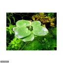 (ビオトープ/水辺植物)(浮草)アマゾンフロッグビット(無農薬)(6株)