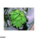(ビオトープ/水辺植物)オオサンショウモ(無農薬)(3株)