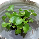 (ビオトープ/水辺植物)ホテイ草 国産(ホテイアオイ)(5株) 金魚 メダカ