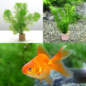 (金魚)(水草)ライフマルチ(茶) メダカ・金魚藻セット+よりなし琉金 素赤〜更紗(1匹)